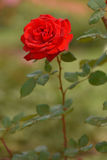 как символа романс влюбленности приветствию зеленого цвета фокуса карточки предпосылки Валентайн красного розового полезное Стоковая Фотография