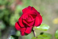 как символа романс влюбленности приветствию зеленого цвета фокуса карточки предпосылки Валентайн красного розового полезное Стоковые Изображения