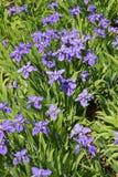 Как цветок пурпура бабочки Стоковая Фотография RF