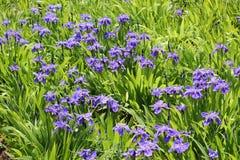 Как цветок пурпура бабочки Стоковые Изображения RF