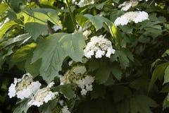 Калина зацветая с белыми цветками весной на большом кусте стоковые фотографии rf