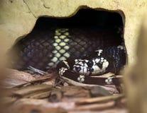 калифорнийская змейка короля Стоковое Фото