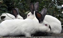 Калифорнийская порода кроликов Стоковые Изображения
