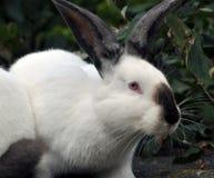 Калифорнийская порода кроликов Стоковое фото RF