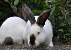 Калифорнийская порода кроликов Стоковые Фото