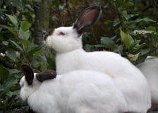 Калифорнийская порода кроликов Стоковое Изображение