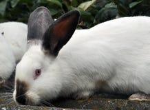 Калифорнийская порода кроликов Стоковая Фотография RF