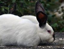 Калифорнийская порода кроликов Стоковое Фото