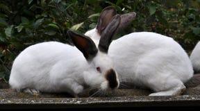 Калифорнийская порода кроликов Стоковое Изображение RF