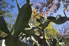 Калифорнийский кактус стоковая фотография