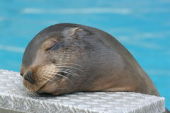 калифорнийское море льва Стоковая Фотография RF