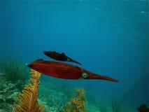 кальмар Стоковая Фотография RF