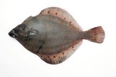 камбала flounder Стоковое Фото