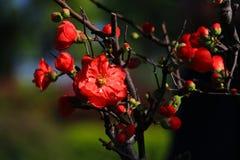 Камелия цветет полностью цветене стоковая фотография rf