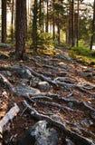 Каменистая почва с толстыми корнями на финском лесе. Стоковое Фото