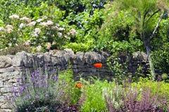 Каменная загородка, розы, цветки в цветени в лете садовничает Стоковые Фото