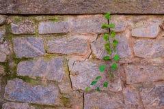 Каменная стена и стержень плюща Стоковые Фотографии RF