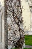 Каменная стена плюща Стоковое Фото