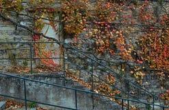 Каменная стена предусматриванная с ветвями лозы стоковые изображения rf