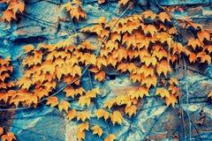 Каменная стена предусматриванная с сухой предпосылкой плюща Стоковое Фото