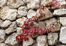 Каменная стена с красными листьями осени плюща на ей Стоковые Фотографии RF