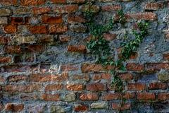 Каменная стена с предпосылкой плюща - природой Стоковые Фотографии RF