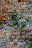 Каменная стена с предпосылкой плюща - природой Стоковое Изображение