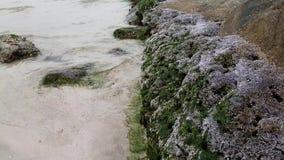 Каменное побережье Персидского залива покрыто с утесом раковины видеоматериал