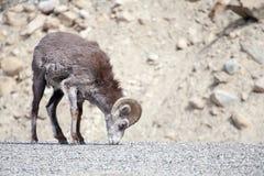 Каменные овцы Стоковые Фото