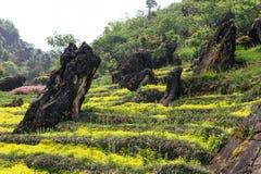 Каменные штендеры на желтом цветочном саде на горе Rong ветчины паркуют в PA Sa, Вьетнаме стоковое фото