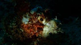 Каменный глаз рыб, пикирование ночи, Anilao, филиппинское стоковые фотографии rf