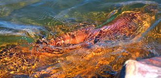 Каменный походящ рыбка в озере Balaton стоковое фото