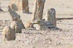 Каменный curlew в естественной среде обитания Стоковое Изображение RF