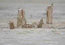 Каменный curlew в естественной среде обитания Стоковое Изображение