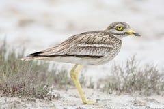 Каменный curlew в естественной среде обитания Стоковые Фото