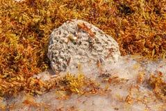 Камень коралла найденный среди водорослей и волн стоковая фотография rf