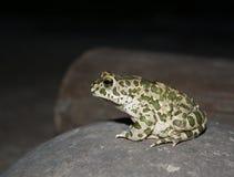 камень лягушки сидя Стоковые Изображения RF