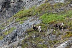 камень овец горы Стоковые Изображения RF