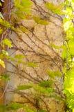 камень плюща стоковые фото