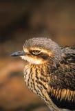 камень портрета curlew bush Стоковая Фотография RF