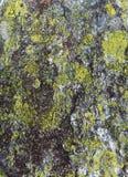 Камень с предпосылкой лишайника Стоковое фото RF