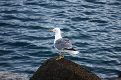 камень чайки стоящий Стоковая Фотография