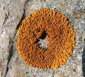 камень 2 лишайников Стоковое Изображение