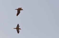 камень 2 полета curlews Стоковые Изображения RF