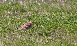 камень curlew предпочитаемый средой обитания s Стоковые Фото