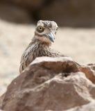 камень curlew Стоковая Фотография