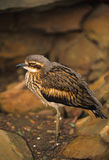 камень curlew bush Стоковое фото RF