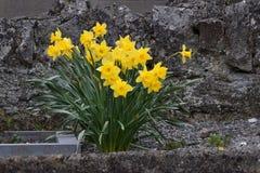 Камень 02 Daffodil Стоковая Фотография