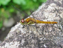 камень dragonfly померанцовый сидя Стоковые Изображения