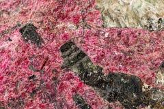 Камень Eudialyte макроса минеральное на белой предпосылке стоковая фотография